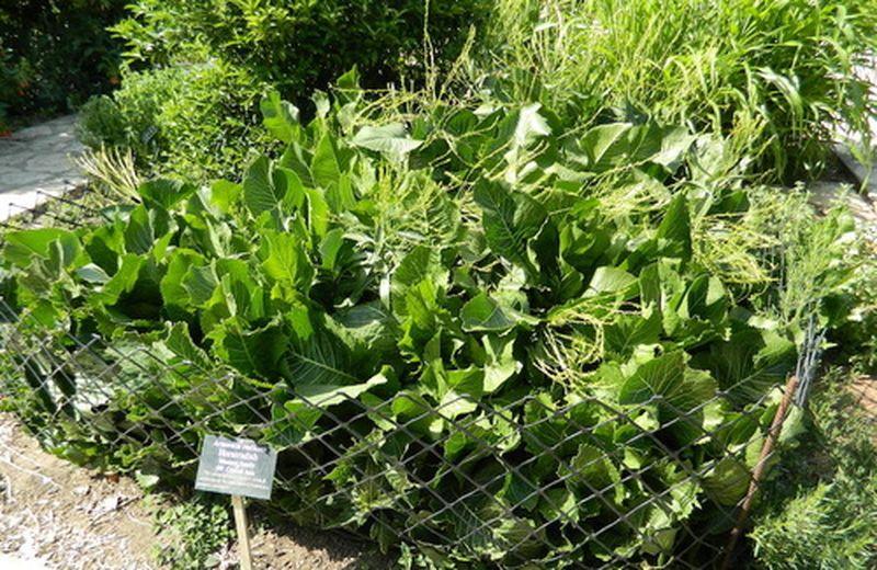Rafano: coltivazione e usi della radice piccante