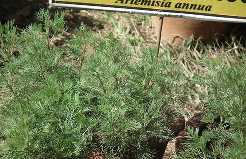 Artemisia annua: le proprietà della pianta definita magica