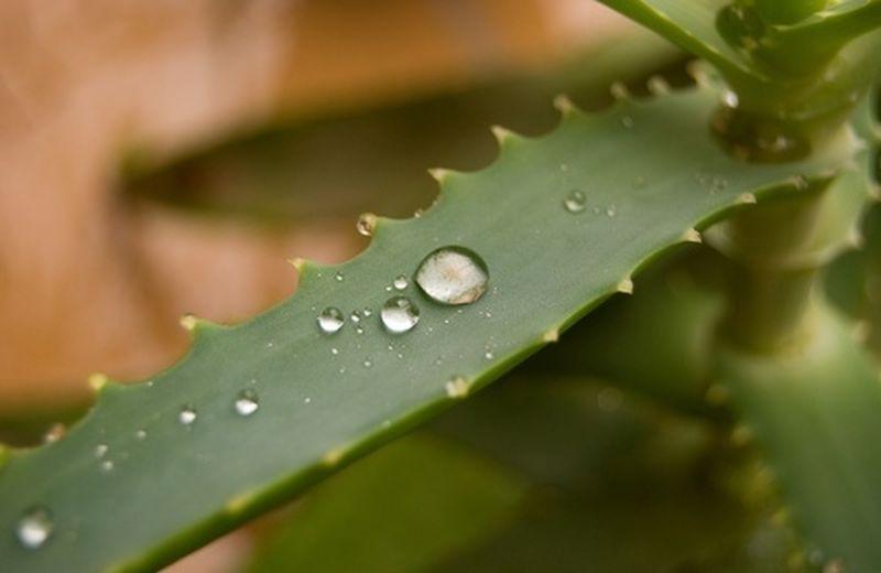 Aloe: le ricette e gli usi per la persona