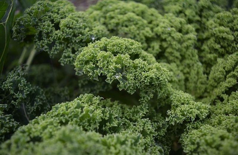 Il kale o cavolo riccio: proprietà, benefici e ricette