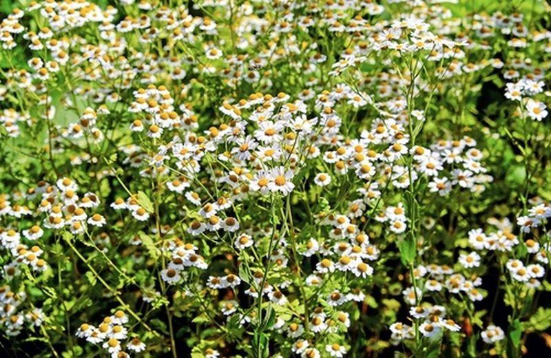 Camomilla, la coltivazione della pianta