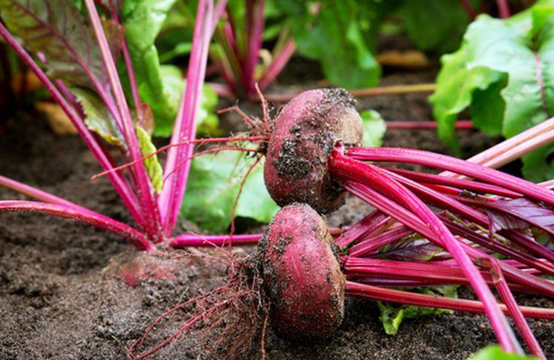 Coltivare la barbabietola nell'orto