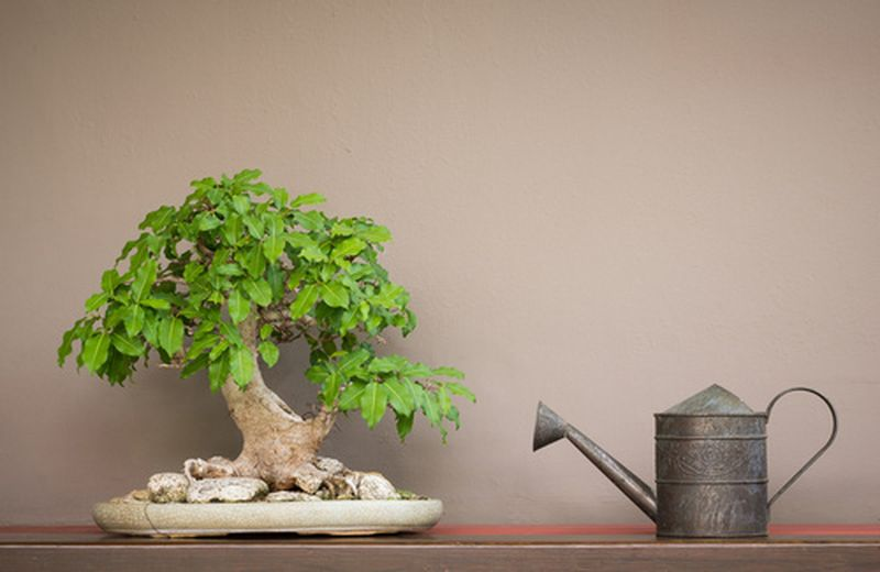 Bonsai, un'arte e una terapia