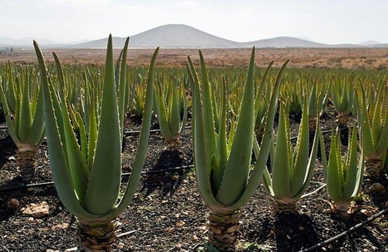 Aloe: la panacea di tutti i mali