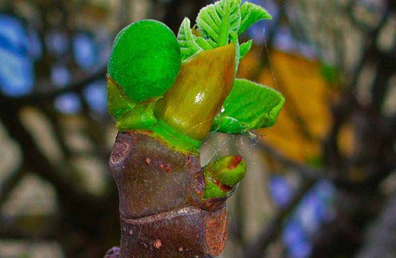 A tu per tu col gemmoderivato del fico: Ficus carica