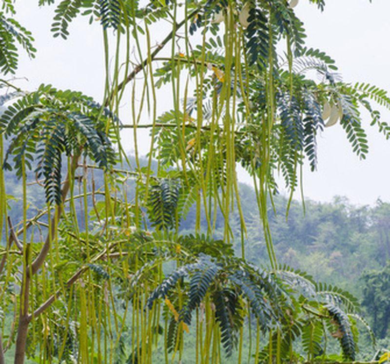 Moringa oleifera: da millenni la pianta del benessere