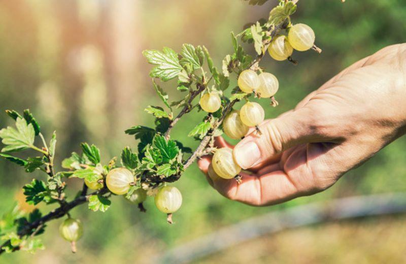 Uva spina, proprietà e come utilizzarla
