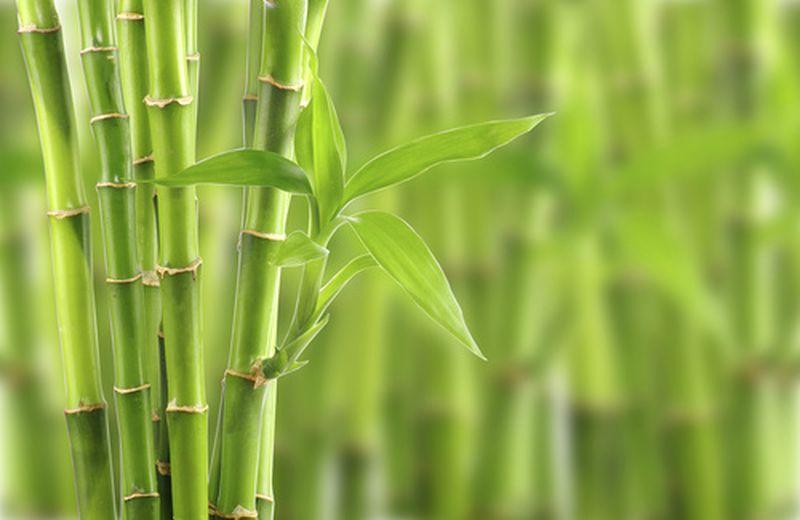 18 settembre, giornata mondiale del bambù