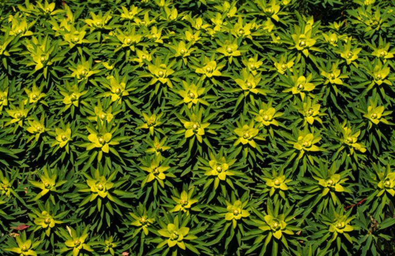 Euphorbia, proprietà e benefici