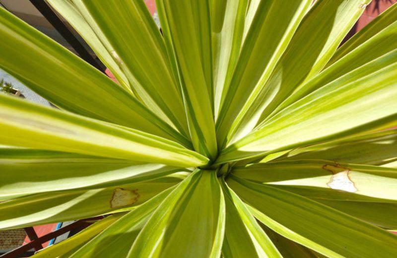 Come coltivare la pianta di yucca