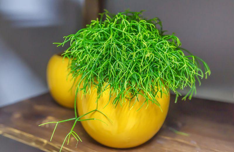 Rhipsalis, la pianta decorativa nemica dello stress