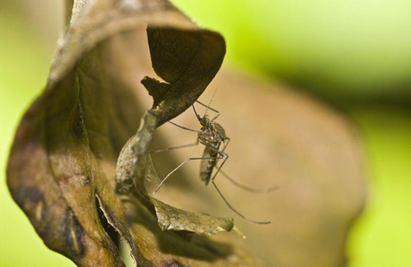 Zanzare meno pungenti con i rimedi naturali