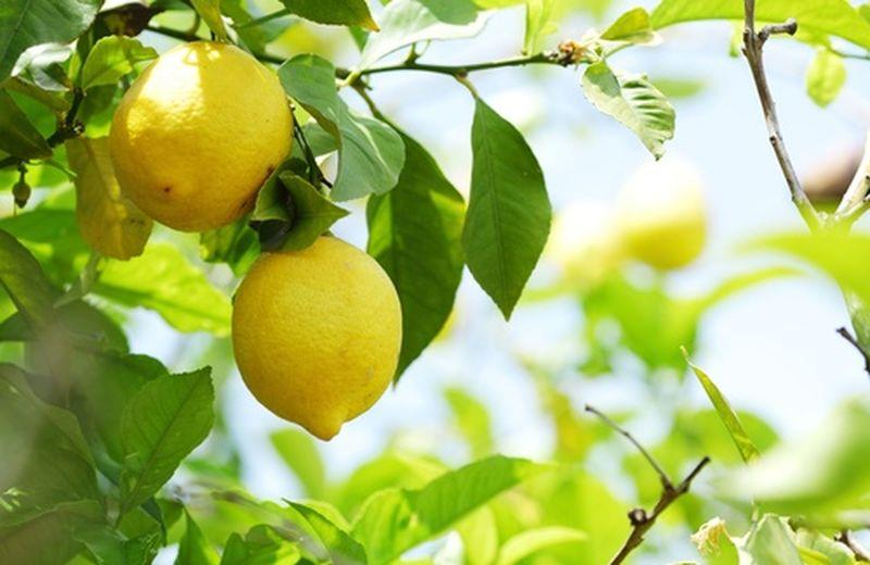 Limone in vaso, come fare
