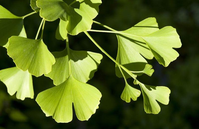 Come utilizzare le foglie di Ginkgo biloba