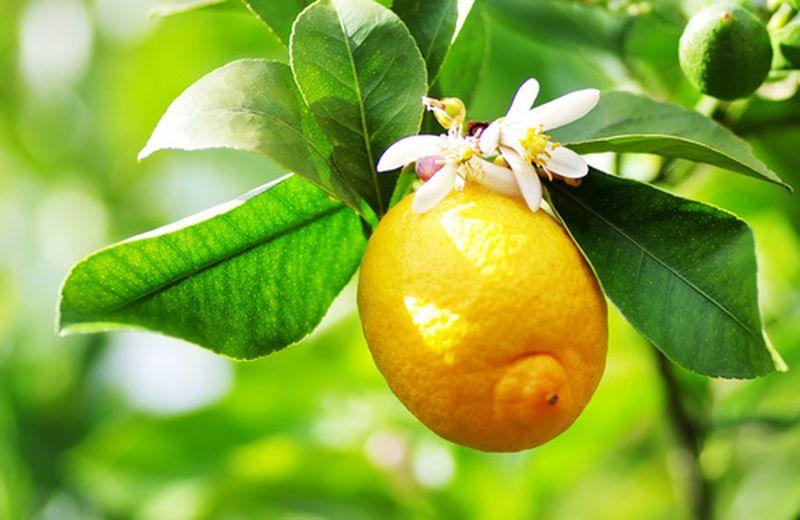 Pianta di limone, come coltivarla