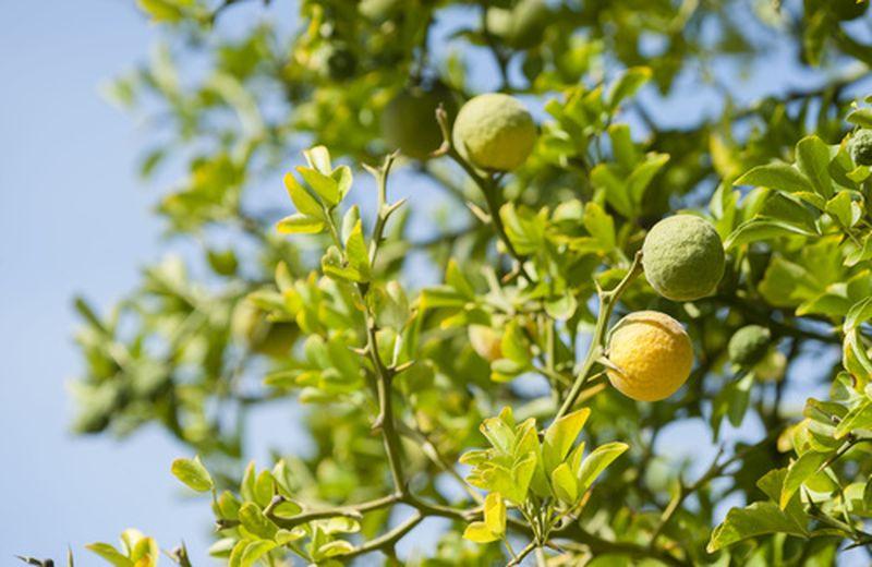 Bergamotto calabrese, proprietà e caratteristiche