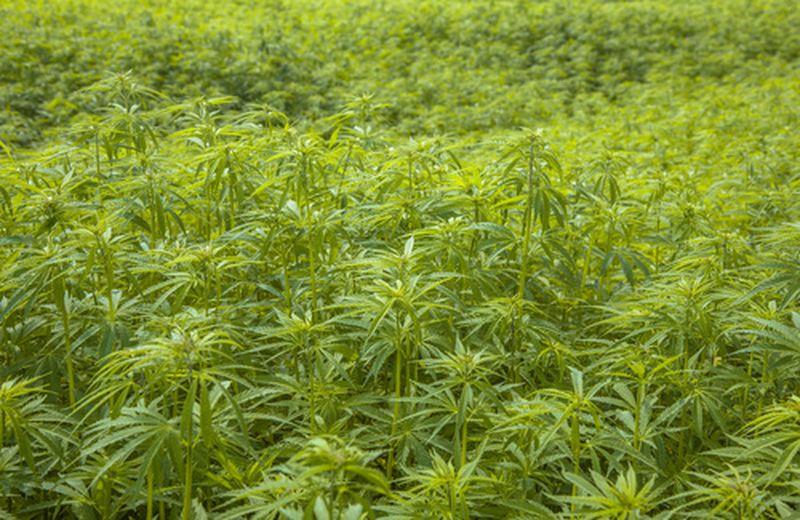 La coltivazione della canapa