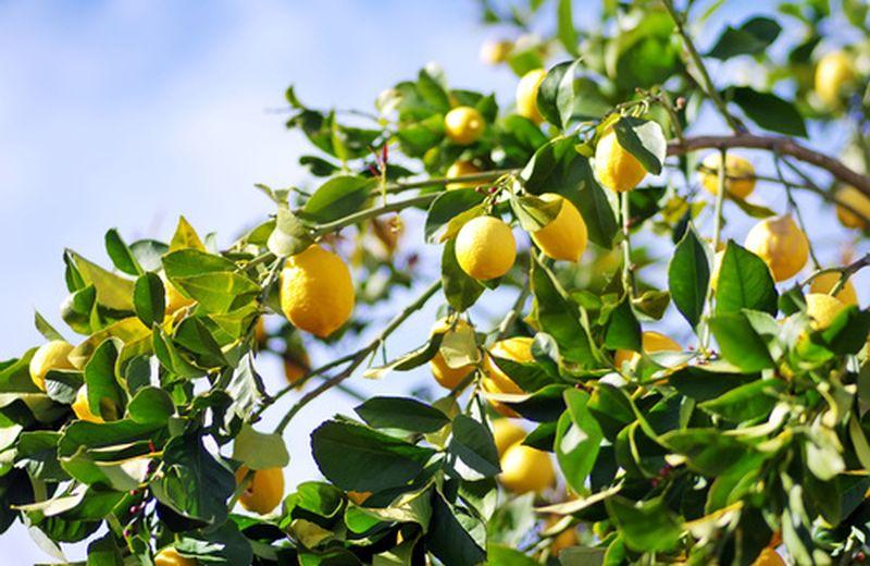 Curare la pianta di limone con i rimedi naturali (fitopatie)