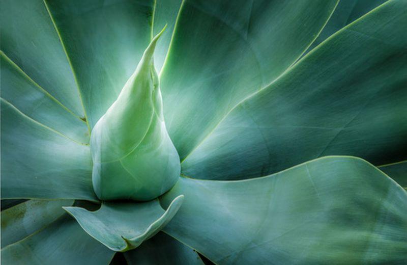 La dolcezza del succo d'agave anche per i diabetici