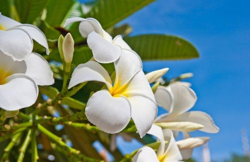 Fiori himalayani e fiori indiani