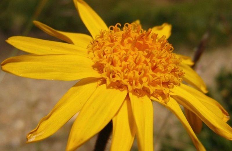 Olio di arnica: il rimedio naturale contro i traumi