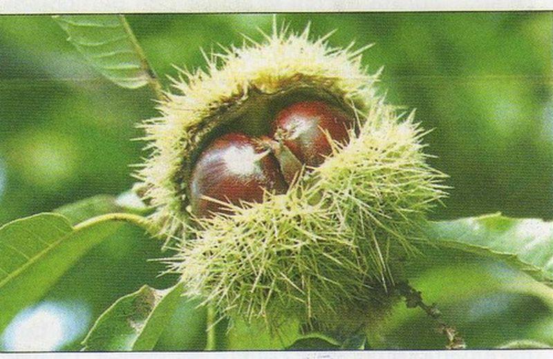 Le castagne: frutti generosi