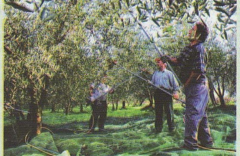 Olio d'oliva salvavita