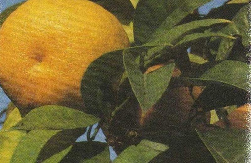 L'arancia. Fonte di Vitamina C