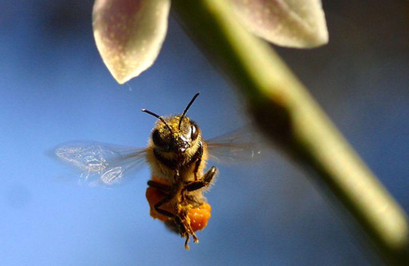I rimedi naturali contro le punture d'api