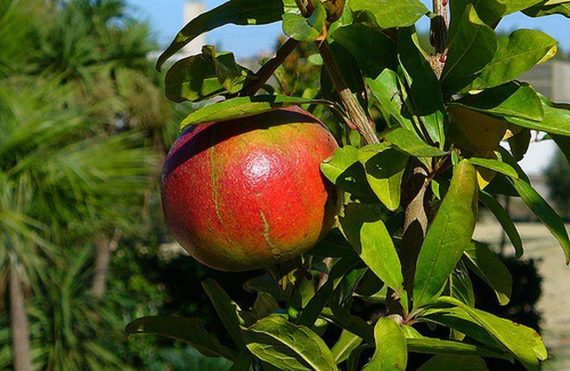 Le proprietà del melograno: il frutto della salute