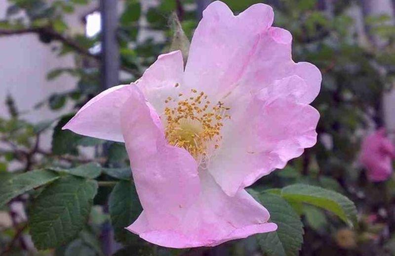 Wilde Rose, l'essenza floreale che vi farà innamorare di nuovo della vita.