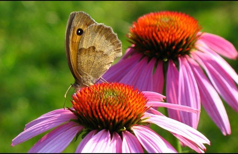 Echinacea: un fiore come scudo contro i malanni dell'inverno